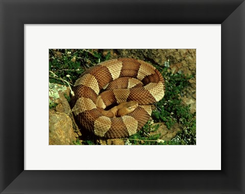 Framed Broad Banded Copperhead Coiled Snake Print