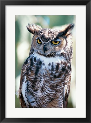 Framed Great Horned Owl Close Up Print
