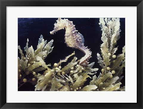 Framed Sea Horse photo Print