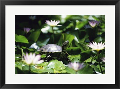 Framed Turtle on a Lily pad, Bahamas Print