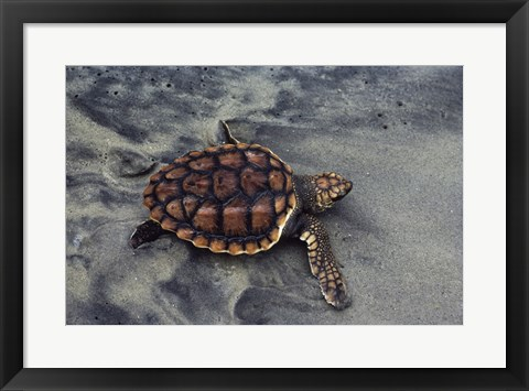 Framed Loggerhead Turtle (Yearling) Print