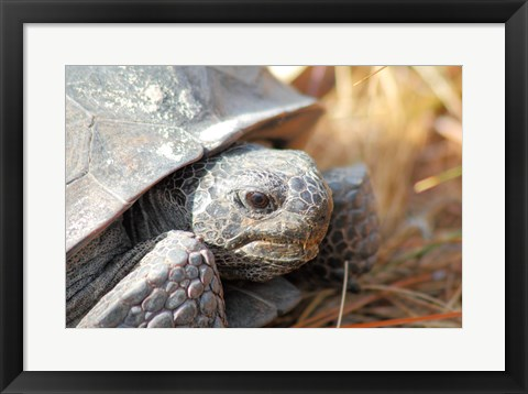 Framed Close-up of a Gopher tortoise Print