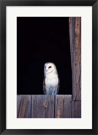 Framed Barn Owl Perched Print