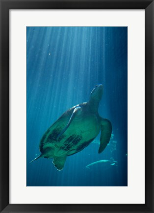 Framed Green Sea Turtle - underwater Print