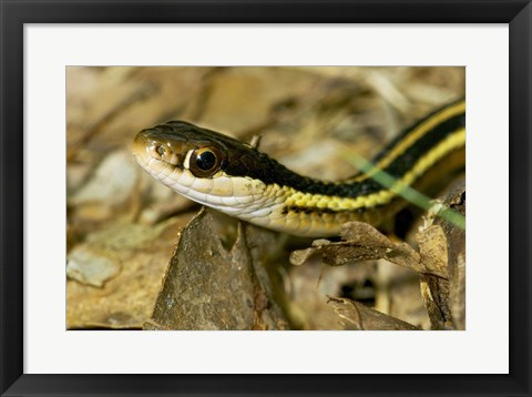 Framed Common Garter Snake Print
