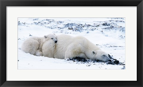 Framed Polar bear with Cub, Cape Churchill, Manitoba, Canada Print