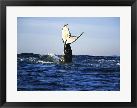 Framed Humpback Whale Tail Above Ocean Waves Print