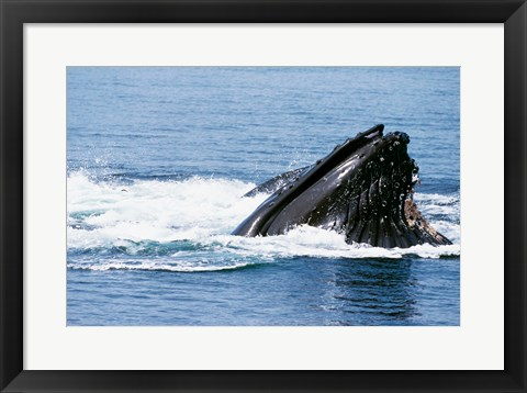 Framed Humpback Whale emerging out of water, Alaska, USA Print