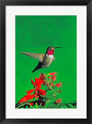 Framed Broad-Tailed hummingbird hovering over flowers, Arizona, USA Print