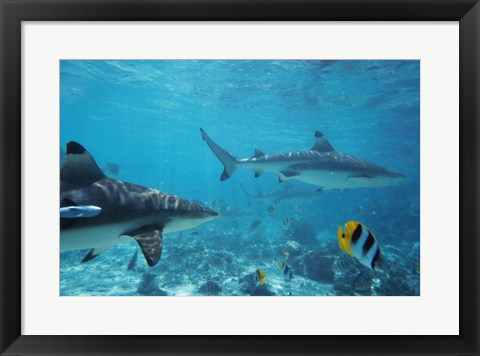 Framed Sharks swimming in the sea Print