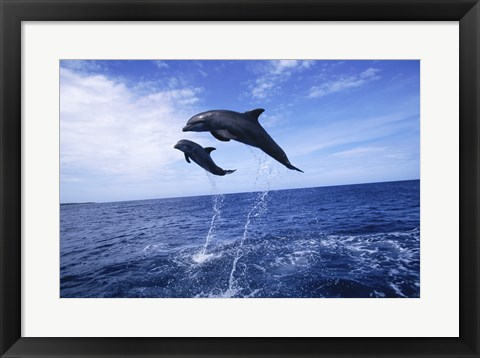 Framed Bottle-Nosed Dolphins Sailing Above the Water Print
