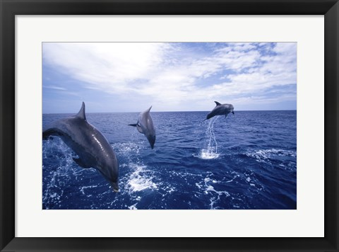 Framed Bottle-Nosed Dolphins Leaping Print