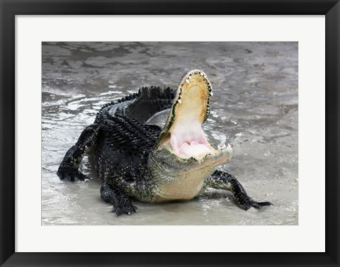 Framed Alligator Mississippiensis Defensive Print