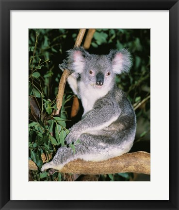 Framed Koala sitting on a tree branch, Lone Pine Sanctuary, Brisbane, Australia (Phascolarctos cinereus) Print