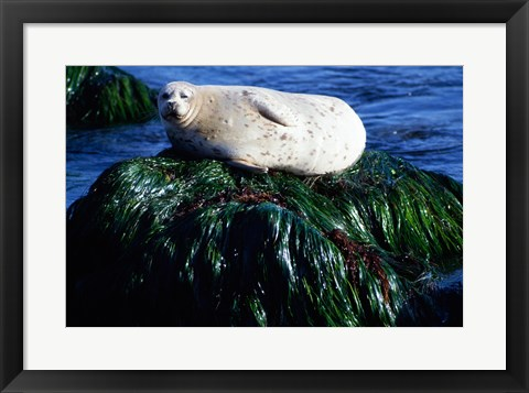 Framed Harbor seal basking on a rock, Monterey, California, USA Print