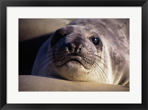 Framed Seal - photo Print