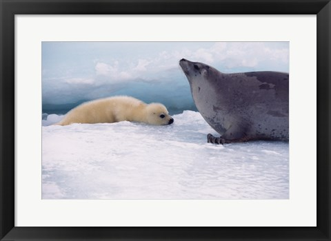 Framed Harp Seals Adult And Baby Print