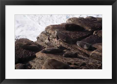 Framed New Zealand Fur Seals Australia Print
