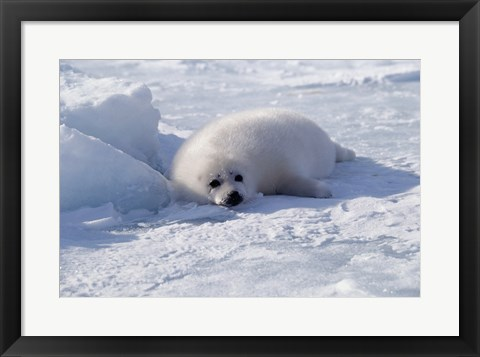 Framed Harp Seal pup lying in snow Print