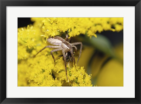 Framed Close-up of a Lynx Spider carrying a bee Print