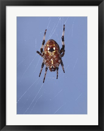 Framed Low angle view of a spider on web Print