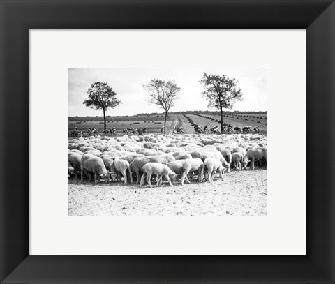 Framed Cyclists passing a herd of sheep, Tour de France 1938 Print