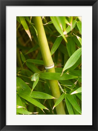 Framed Close-up of a bamboo shoot with bamboo leaves Print