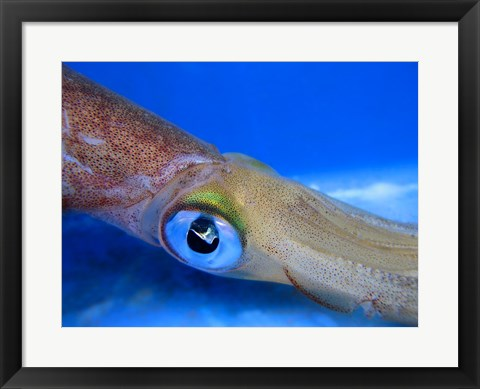 Framed Close-up of a squid underwater Print