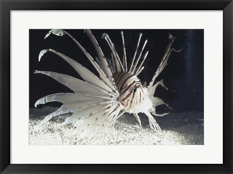 Framed Red Lionfish swimming underwater Print
