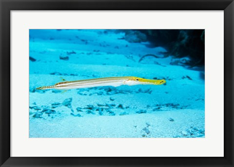 Framed Side profile of a Yellow Trumpet Fish swimming underwater Print