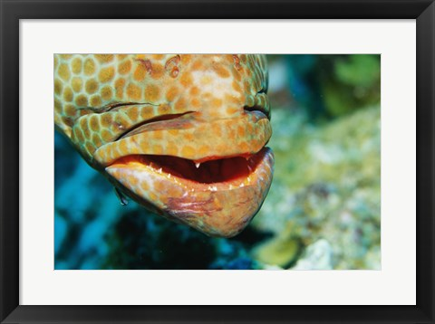 Framed Close-up of the mouth of a Juvenile Grouper, Belize Print