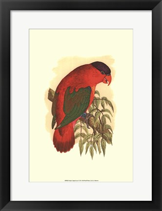Framed Purple-Capped Lory Print