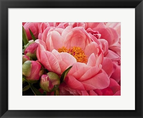 Framed Coral Peonies I Print