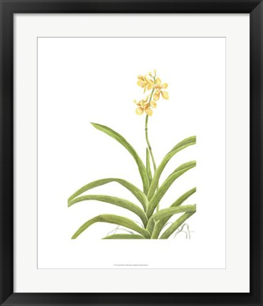 Framed Orchid Study II Print
