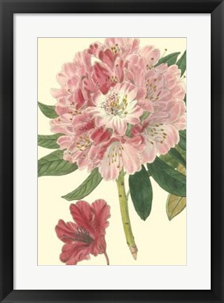 Framed Pink Rhododendron Print