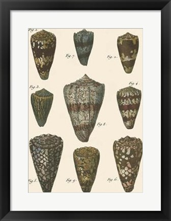 Framed Cone Shell pl. 318 Print