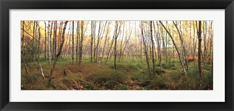 Framed Birch Forest Panorama Print