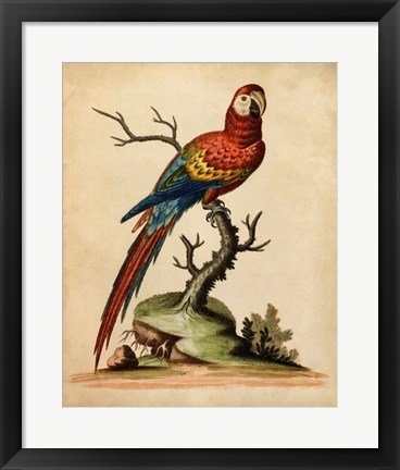 Framed Edwards Parrots I Print