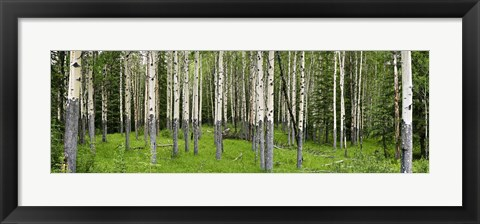 Framed Aspen trees in a forest, Banff, Banff National Park, Alberta, Canada Print