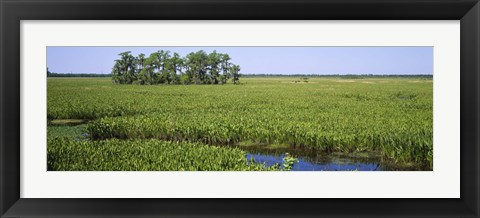 Framed Plants on a wetland, Jean Lafitte National Historical Park And Preserve, New Orleans, Louisiana, USA Print