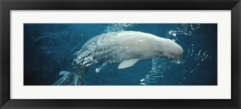 Framed Close-up of a Beluga whale in an aquarium, Shedd Aquarium, Chicago, Illinois, USA Print