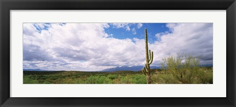 Framed Cactus in a desert, Saguaro National Monument, Tucson, Arizona, USA Print