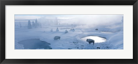 Framed Bison West Thumb Geyser Basin Yellowstone National Park, Wyoming, USA Print