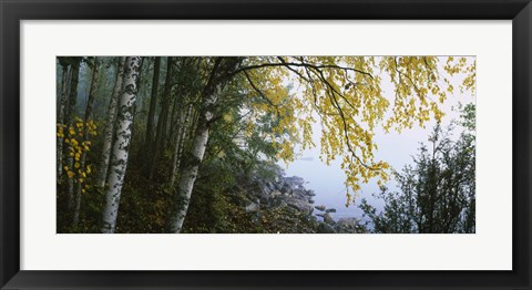 Framed Birch trees in a forest, Puumala, Finland Print