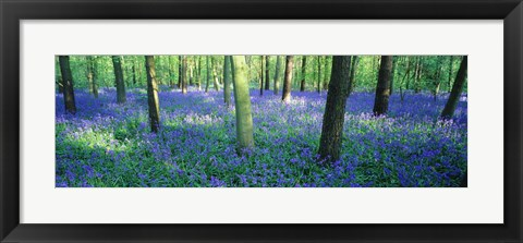Framed Bluebells in a forest, Charfield, Gloucestershire, England Print