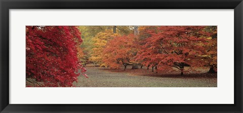 Framed Autumn trees in Westonbirt Arboretum, Gloucestershire, England Print