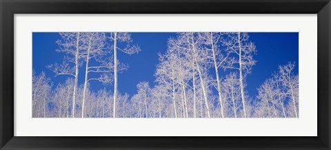 Framed Low angle view of aspen trees in a forest, Utah, USA Print