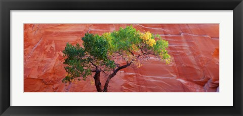 Framed Low Angle View Of A Cottonwood Tree In Front Of A Sandstone Wall, Escalante National Monument, Utah, USA Print