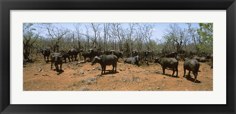 Framed Herd of Cape buffaloes wait out in the minimal shade of thorn trees, Kruger National Park, South Africa Print