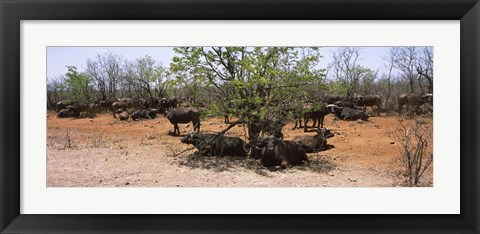 Framed Cape buffaloes resting under thorn trees, Kruger National Park, South Africa Print